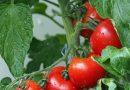 Aprueba Japón venta de tomates con genoma editado para inhibir la hipertensión