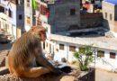Macaco se venga de un residente de una aldea que participó en su captura para reubicarlo